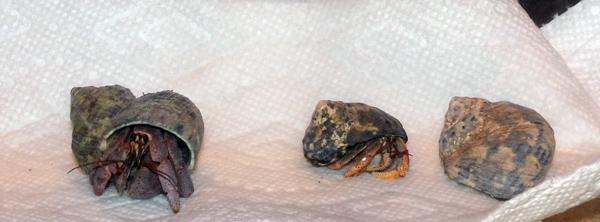 3 crabs Mar2017 - 5in